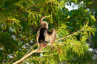Anhinga (Anhinga anhinga) drying wings in tree,  Wakodahatchee Wetlands, Delray, Beach, USA   Photo: Peter Llewellyn