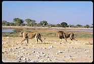 01: ETOSHA LIONS & LEOPARD