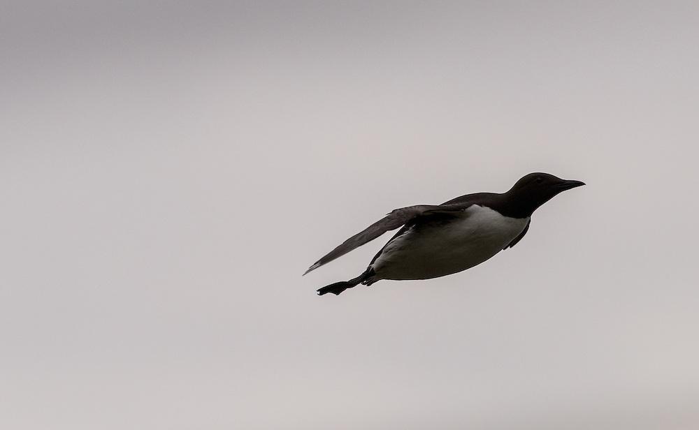 Guillemot in flight against looming sky