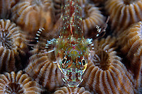 Big Mouth Triplefin on Hard Coral