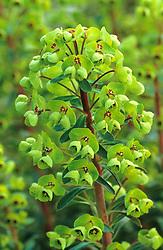 Euphorbia x martinii - Spurge, Milkweed