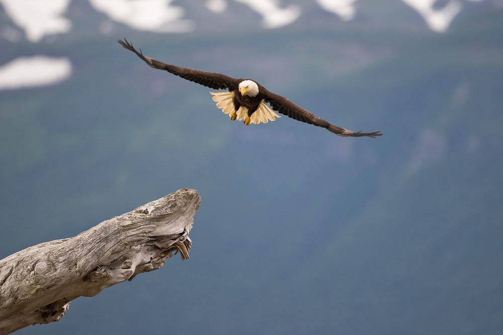 USA, Alaska, Katmai National Park, Bald Eagle (Haliaeetus leucocephalus) spreads wings while taking flight from log along Hallo Bay