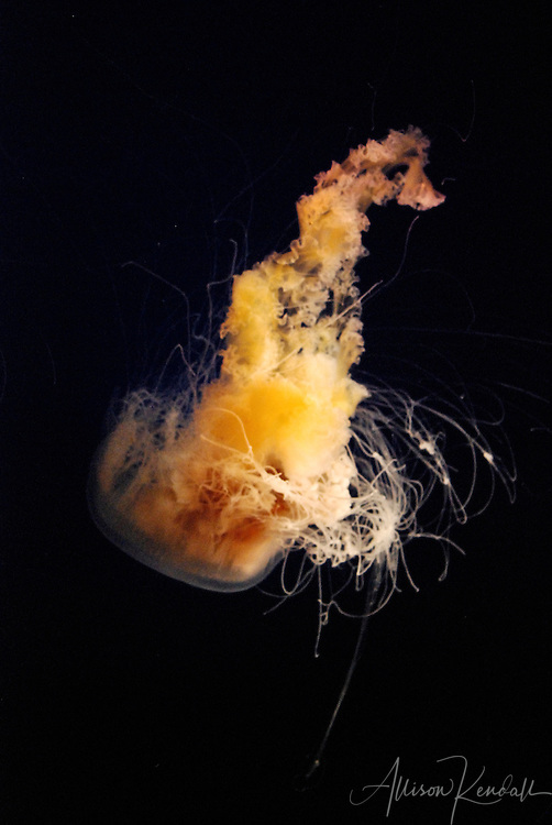 The swirling tentacles of an egg yolk jellyfish resemble flames against a dark background