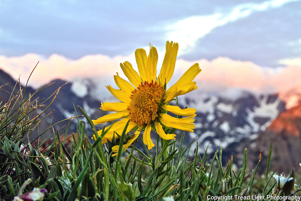 A hearty species of wildflower, Old Man of the Mountain is the largest alpine wildflower and thrives above treeline.