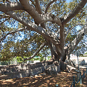 Gigantic Fig Tree<br /> Santa Barbara, CA.