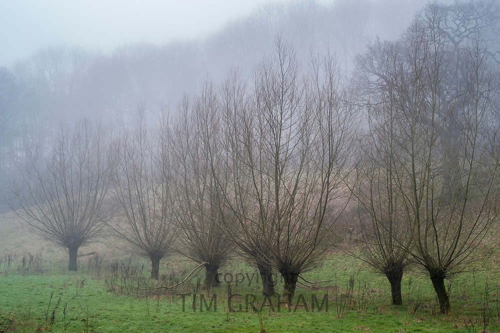 Willows - Salix - deciduous trees with bare branches by meandering stream on misty winter morning at Swinbrook in The Cotswolds, Oxfordshire, United Kingdom