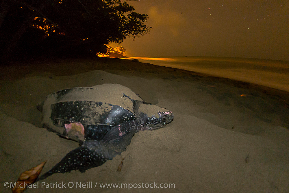 A female Leatherback Sea Turtle, Dermochelys coriacea, nests at nighttime on Grand Riviere, Trinidad, and returns to the Caribbean Sea. Notice the in injury on her side, possibly a shark bite. During peak nesting season in late May / early June, this beach will receive roughly 300 nesting Leatherback every night, making it one of the busiest and most important nesting locations in the world for the critically endangered species. Flash photography allowed with permit.