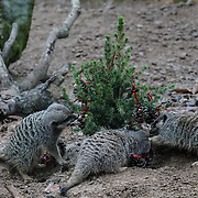 Meerkats enjoy Christmas treats at ZSL London Zoo on 15th December 2016,London,UK. Photo by See Li/Picture Capital