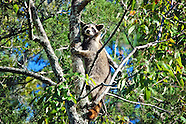 Raccoons (Procyonids)