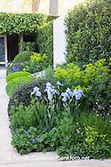 Planting combination of Iris germanica varieties 'Bright Blue', Cenolophium denudatum, Nigella damascena, Euphorbia, Sesleria autumnalis, Anchusa 'Loddon Royalist', Gladiolus byzantinus.