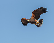 Harris's hawk in fast flight, blue sky background, © 2012 David A. Ponton
