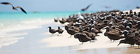 A flock of Common Noddies (Anous stolidus) on a beach at Michaelmas Cay, Great Barrier Reef, Australia