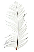 white ruffled feather