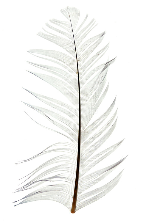 white ruffled feather