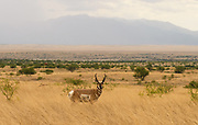 As monsoon rain falls on the Mustang Mountains, a Pronghorn Antelope, Antilocapra americana, crosses the grasslands on the Las Cienegas National Conservation Area, north of Sointa, Arizona, USA.