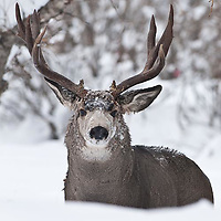 muledeer buck aspen trees heavy deep snow