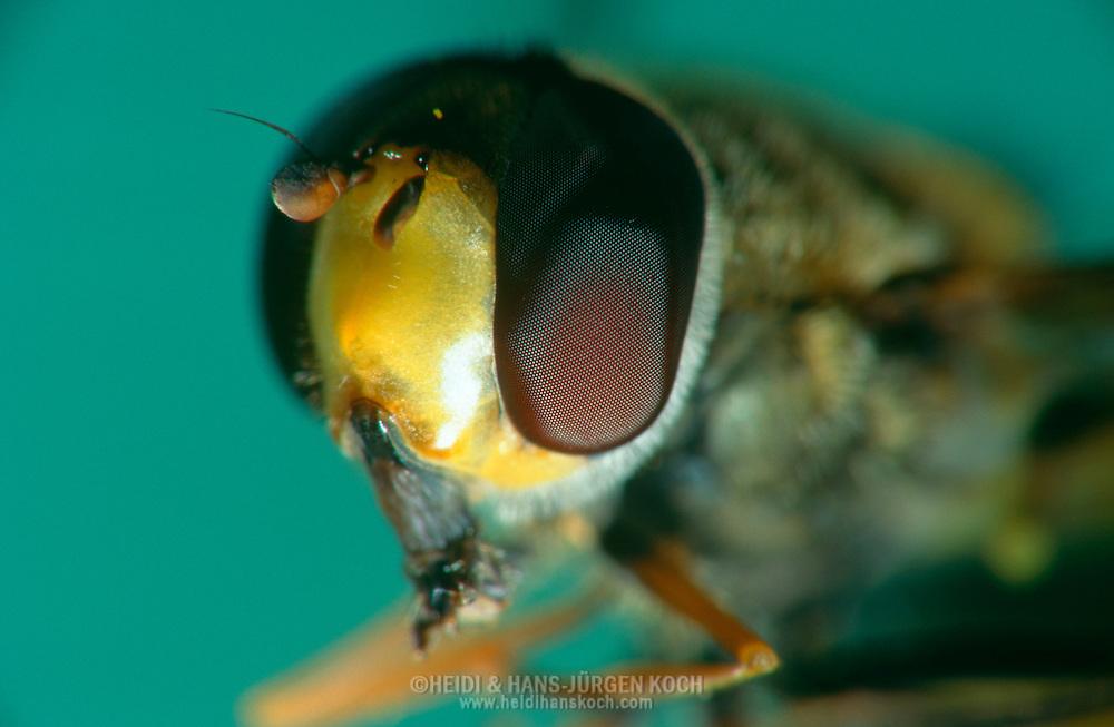 DEU, Deutschland: Porträt von einer Schwebfliege (Syrphus ribesii), Nahaufnahme | DEU, Germany: Hoverfly (Syrphus ribesii), insect portrait, close-up |