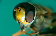 DEU, Deutschland: Porträt von einer Schwebfliege (Syrphus ribesii), Nahaufnahme | DEU, Germany: Hoverfly (Syrphus ribesii), insect portrait, close-up |