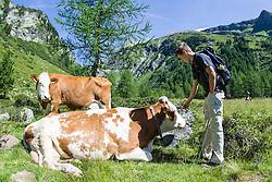 """THEMENBILD - Nach dem wiederholten Angriff von Kühen auf Wanderer ruft die österreichische Landwirtschaftskammer zu höchster Vorsicht auf und warnt vor """"unberechenbaren"""" Kühen. Unser Bild zwei Kühe (Rasse: Pinzgauer) liegen auf einer Almweide und erhalten ein paar streicheleinheiten von jugendlichem Wanderer, Aufgenommen am 10. August 2008 im Kalser Dorfertal. EXPA Pictures © 2014, Photographer: EXPA/ Johann Groder"""