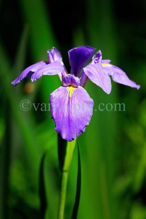 20 April 2014. Barataria Preserve, Louisiana. <br /> An Iris 'Sinfonietta,' or Louisiana Iris at the Barataria Preserve. The distinctive blue iris is the state flower of Louisiana.<br /> Photo; Charlie Varley/varleypix.com