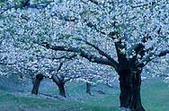 France, languedoc Roussillon, Gard, Cévennes, cerisiers en fleurs