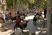 bulls being led through the streets towards the bull ring St Remy du Provence France