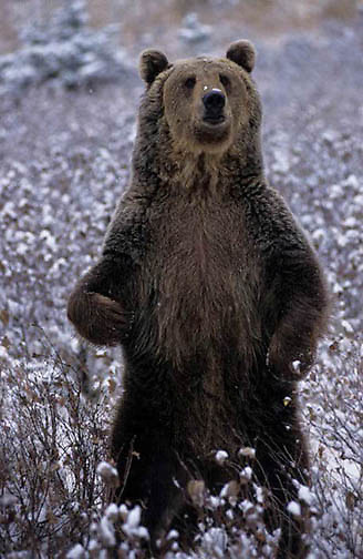 Grizzly Bear, (Ursus horribilis) Adult. Rocky mountains. Montana. Winter. Captive Animal.