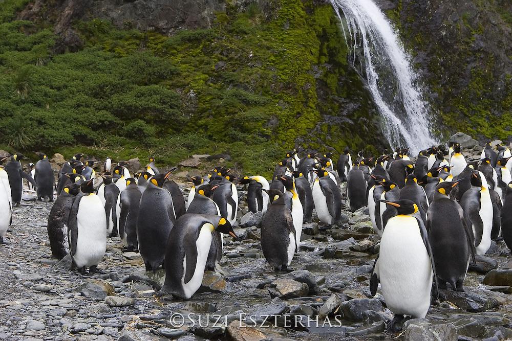 King Penguin<br /> Aptenodytes patagonicus<br /> At base of waterfall<br /> Hercules Bay, South Georgia