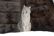 A wild cat, an eurasian lynx (Lynx lynx) at a nature park in Namsskogan, Norway.