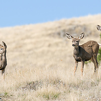 mule deer doe fawn