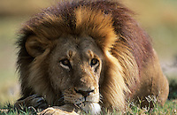 Male Lion lying on savannah