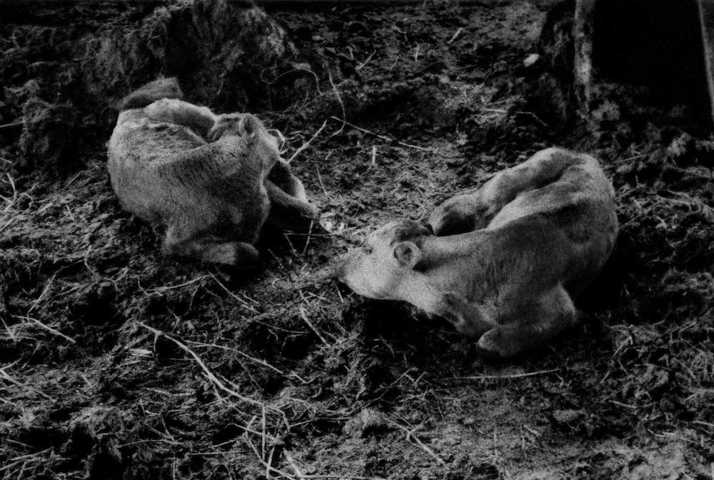 Irradiated calves born after the Fukushima Daiichi nuclear disaster into a radiation contaminated environment on Masami Yoshizawa's dairy farm.  Namie-machi, Fukushima Prefecture, Japan.