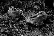 Irradiated calves born after the Fukushima Daiichi nuclear disaster into a radiation contaminated environment on Masami Yoshizawa's dairy farm.  Namie-machi, Fukushima Prefecture, Japan.