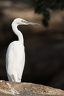 An eastern great egret stands tall on a rock, Ranganathittu Bird Sanctuary, India