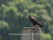 A Snail kite sits on a pier at Barro Colarado Island in Panama