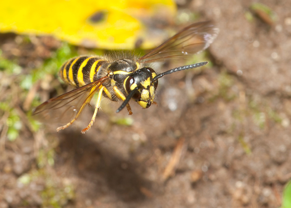 Eastern Yellowjacket (Vespula maculifrons) in flight at nest entrance.