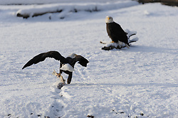 This photo is part of a sequence in which a bald eagle drags a salmon from the Chilkat River only to eat it in front of the eagle that it dragged it up to. In this image (third of the tweleve image sequence) a second eagle continues to drag a salmon from the river towards the other eagle. The photo was taken in the Alaska Chilkat Bald Eagle Preserve near Haines, Alaska.