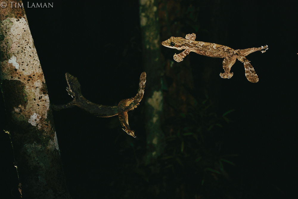 Kuhl's flying gecko (Ptychozoon kuhli) in flight and coming into landing position.  Same lizard illuminated with two flashes of the stobe to create a double exposure during one glide.