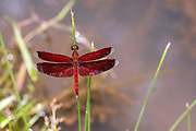 The dragonfly Neurothemis ramburii from Deramakot Forest, Sabah, Borneo