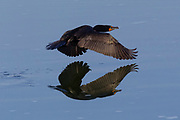 A double-crested cormorant (Phalacrocorax auritus) flies low over a small pond in the Columbia National Wildlife Refuge in Washington state.