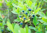 Closeup of mountain blueberries on bush Cascade Mountains Washington USA.