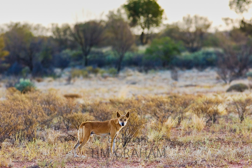 Dingo at Simpson's Gap, West Madonnell Mountain Range, Australia