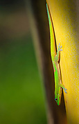 Gold dust day gecko, Phelsuma laticarda, Kapoho, Hawaii