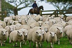 Ovelhas em Mostardas