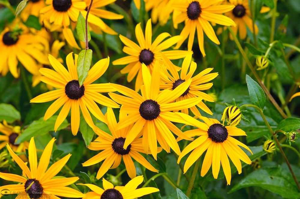 Black eyed Susan, State flower of Maryland USA