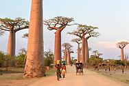 Allee von Grandidier's Affenbrotb&auml;umen (Adansonia grandidieri), Morondava, Madagaskar<br /> <br /> Locals in the famous alley of Grandidier's baobabs (Adansonia grandidieri), Morondava, Madagascar
