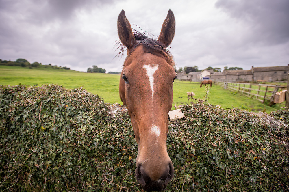 Horse at Middleham Castle in Wensleydale in Yorkshire, England, UK