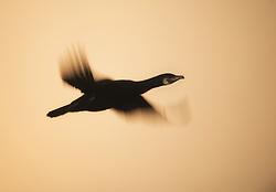Great Cormorant (Phalacrocorax carbo) in flight, Hornøya, Varanger, Norway