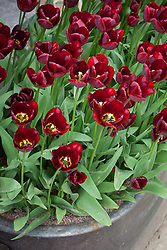 Tulipa 'Jan Reus' planted in large metal trough by the back door at Glebe Cottage