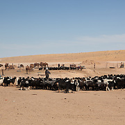 Goats and camels in a desert village in the Karakum, Turkmenistan